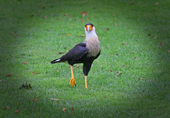 IMG_0622 (bob_rmg) Tags: perrow arboretum tree autumn colour leaves bedale thorp bird caracara
