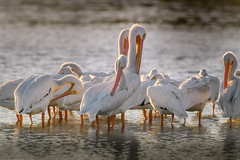"""American white pelicans (Pelecanus erythrorhynchos) resting and preening after having just arrived at J. N. """"Ding"""" Darling National Wildlife Refuge on Sanibel Island in the Gulf of Mexico (diana_robinson) Tags: americanwhitepelican pelecanuserythrorhynchos migration birdmigration preening jndingdarlingnationalwil sanibelisland gulfofmexico florida jndingdarlingnationalwildliferefug"""