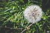 Blowball 02 (Van Esch Design (VED)) Tags: grass green blowball dandelion dewdrops drops nature flower