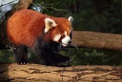 SWEETHEART (babsbaron) Tags: nature tiere animals raubtier predator panda bär bear zoo duisburg rot red klein little