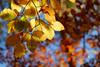 HerbstHimmel (H. Eisenreich) Tags: eisenreich hans fujifilm xt1 laub gold blätterhimmel blätter herbststimmung nature light herbst sky himmel bokeh licht natur autumn