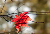 Before the fall (Tony Buckley) Tags: westonbirt red leaf autumn canon5d canon