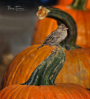 Bird on a Pumpkin