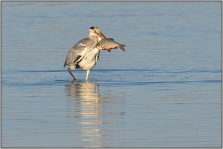 Grey Heron (image 2 of 3)