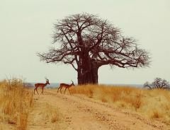 Impalas and Baobab Tree in Ruaha National Park (micheledibitetto) Tags: baobab tree paisaje landscape animal impala tanzania ruaha national park yellow silhouette gazelle dirt
