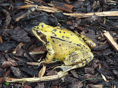 frog (47604) Tags: common frog duston garden northampton animal creature alive wood chippings