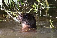Otter (Georgiegirl2015) Tags: otter river reedbeds wildlife nature dorset riverstour september mammal sunny canon countryside ef300mm dellalack
