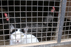 Caturday (RW-V) Tags: canoneos70d canonefs24mmf28stm cat chickens hens kippen poules chat kat katze andalucia andalusia andalusië spain espagne spanje animaux animals tiere dieren smileonsaturday linesandstripes sooc 100faves 120faves 150faves 175faves 200faves