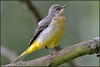 Grey Wagtail (image 1 of 3) (Full Moon Images) Tags: rspb sandy lodge thelodge wildlife nature reserve bedfordshire bird grey wagtail