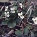 White Viola odorata (sweet violet). Woodchester, Nympshield. 3.4.65