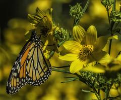 MonarchButterfly_SAF4497-5 (sara97) Tags: danausplexippus butterfly endangered insect missouri monarch monarchbutterfly nature outdoors photobysaraannefinke pollinator saintlouis towergrovepark