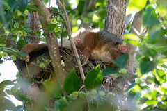 Common Ringtail Possum (petefeats) Tags: australia brisbane commonringtailpossum hh nature pseudocheirusperegrinus queensland drey nest