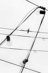 frayed in the middle (jim_ATL) Tags: bird dove utility lines frayed wire light bulbs dof bw blackandwhite minimal atlanta