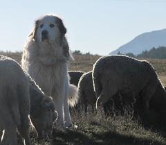 le gardien (b.four) Tags: chien dog cane patou mouton sheep pecora caussols alpesmaritimes coth5
