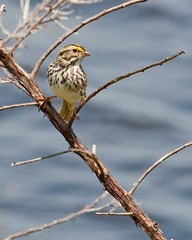 Savannah Sparrow  (c) 2017 Walt Hackenjos All rights reserved.