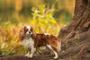 Autumn Cavalier (Tracy Munson Photography) Tags: cavalierkingcharlesspaniel gta grenadierpond spaniel torontopetphotographer dogphotography dogportrait dogs highpark petportrait