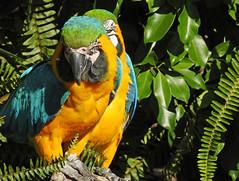 Arara-azul-e-amarela / Blue-and-yellow macaw (Ara ararauna) (Marina CRibeiro) Tags: