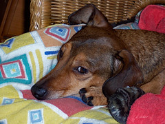 FONS (K.Verhulst) Tags: fons teckel dog hond pet dachshund coth5 terriër