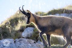 _DSC8481 (-gab-645) Tags: camoscio civitella alfedena valdirose alba animals animali mammals mammiferi natura pnalm sole sun nature mountain montagna escursioni trekking trekk
