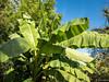 Musa basjoo - Musaceae - Bananier du Japon - Pépinière Patrick Nicolas - Meudon - Hauts-de-Seine - Ile-de-France - France. (vanaspati1) Tags: musa basjoo musaceae bananier du japon pépinière patrick nicolas meudon hautsdeseine iledefrance france vanaspati1 europe nature rustique hardy banana