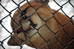 The Face of Frustration (MTSOfan) Tags: russet cougar cub epz bigcat mountainlion puma panther pantamount rescue fence frustration anger angry objection fang tooth chainlink barrier
