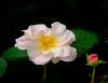 Rose,  and bud (vern Ri) Tags: rose flora fleur fuji fiori blumen bloom pink cream newyork