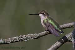 Ruby-throated Hummingbird (Matt Shellenberg) Tags: rubythroated hummingbird rubythroatedhummingbird