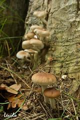 Setas / Hongos (levilo) Tags: seta hongo levilo pentax bolet esporocarpo otoño bosque garrotxa girona catalunya