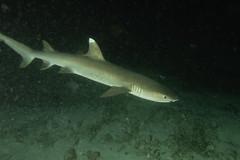 White Tip Shark in night dive. Squalo Pinna Bianca, immersione notturna. (Triaenodon Obesus). (omar.flumignan) Tags: ari north nordari mayathila night dive immersione notturna mysachika maldive maldives holiday vacanza flicktravelaward allnaturesparadise ngc canon g7xmk2 fantasea fg7xmk2 ikelite ds51 whitetipreefshark squalo pinnabianca triaenodonobesus