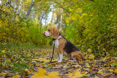 Beagle dog in autumn forest with bright yellow foliage (androsoff) Tags: beagle dog pet animal autumn foliage forest bright yellow red mixed maple birch trees shrubs october walk portrait pretty cute tricolor white black brown collar leash canine hunter nature landscape purebred tail paws ears nose eyes tongue green