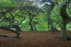 Im Hexenwald (nordelch61) Tags: ostsee rügen semper hexenwald buchen süntelbuchen äste zweige blätter knorrig urig alt forest witch wood wooden tree trees wald baum waldpark landscape
