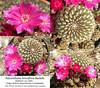Sulcorebutia breviflora var. laui (collage)