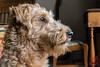 Whiskey (DragonSpeed) Tags: alberta calgary dog irishterrier whiskey animal pet portrait canada ca