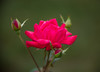 Red Rose (Reggae1969) Tags: naturemacro nature flower rose garden olymous with nikon 105mm zong yi adapter