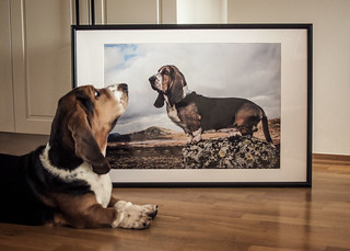 Self-admiring Bassethound