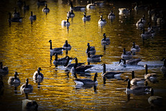 On Golden Pond (mariola aga) Tags: belvidere park autumn river water birds geese golden tones