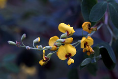 Pea Flowers 1 (AlfredSin) Tags: alfredsin canoneos760d canonef100mmf28lmacro yellowflower peaflowers valleyreserve mountwaverley australianflowers australianplants