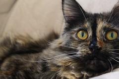 huh? (DasWarmblut) Tags: hazel katze cat main coon maincoon pet hauskatze haustier pelz fell augen eyes pelt fur animal tier cute süs beauty