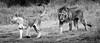 Seduction is an Art (Beppe Rijs) Tags: africa afrika löwe paarung serengeti tansania tanzania lion mating fels rock landschaft panorama clouds landscape light view nationalpark np park steppe wildlife animal bigcat tierwelt tiere grosskatze wildkatze bigfive raubtier raubkatze kopje chill ruhen entspannen wildcat reserve habit typical typisch rückzugsort reservat habitat lebensraum nature natur wildnis wild tier blackandwhite bw sw schwarzweiss schwarz weiss monochrome fineart photography king könig male aura magical majesty magisch majestätisch erscheinung wildlifeafrica couple paar seduction verführung art kunst