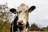Goodmeeuuurning Miss Cow! (Gerald Schuring) Tags: schiermonnikoog schier fcnoordenveld fcn fcn300917 fotoclubnoordenveld geraldschuring gerald schuring eiland wad koe cow rund