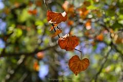 Autumn is here... (@Katerina Log) Tags: autumn leaf leaves foliage colour closeup nature natura florafauna depthoffield bokeh daylight light katerinalog macro sonyilce9 fe55mmf18za