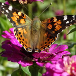 Painted Lady thumbnail