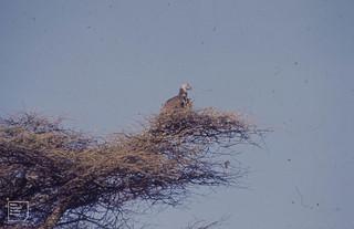 Vulture. Ndutu serengeti