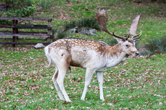 Wounded deer (alanrharris53) Tags: deer rut fallow injured blood fight bradgatepark bradgate leicestershire