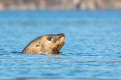 Our Stellar Sea Lions need help (Melanie Leeson) Tags: canadianwildlife melanieleesonwildlifephotography mammals northamericanwildlife fishing mammalsofnorthamerica stellerssealion britishcolumbiawildlife blingsister behaviours eumetopiasjubatus