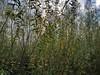 Carnisse grienden (Geertje Anja) Tags: carnissegrienden barendrecht zuidholland willows autumn herfst oudemaas grienden ijsselmonde wandelen walking wilgentenen holland mooilicht
