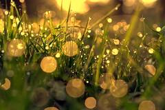 fresh start (joy.jordan) Tags: grass dew field light sunrise bokeh nature texture feeling