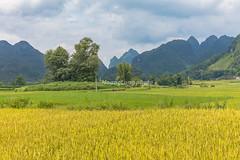 _29A0600.0917.TL206.Chí Viễn.Trùng Khánh.Cao Bằng (hoanglongphoto) Tags: asia asian vietnam northvietnam northeastvietnam landscape scenery vietnamlandscape vietnamscenery vietnamscene caobanglandscape ricefields fields harvest harvestingseason canon đôngbắc caobằng trùngkhánh chíviễn tl206 phongcảnh phongcảnhcaobằng đồnglúa lúachín mùagặt caobằngmùalúachín caobằngmùagặt canonef2470mmf28lisiusmlens canoneos5dsr sky clouds bầutrời mây cloud