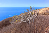 Kleinia neriifolia (Verode) surrounded by Tabaiba Dulce (Ralph Apeldoorn) Tags: coast coastline kust loscristianos palmmar sea spain spanje tabaibadulce tenerife zee arona canarias es kleinianeriifolia verode