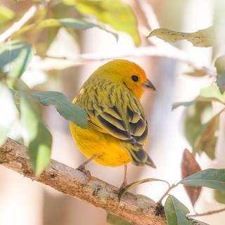 Saffron Finch [72/100]
